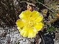 Wild Cactus Flower - panoramio.jpg