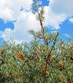 Wild Sea Buckthorn near Lake Sevan - panoramio.jpg