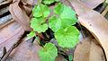 Wild Violet leaves (15853057688).jpg