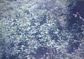 Wild cherimoya tree.jpg