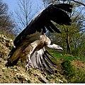 Wildpark Bad Mergentheim. Geier im Landeanflug.jpg