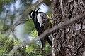 Williamson's Sapsucker (male) Forest Rd 42 Loop Chiricahuas Portal AZ-80 (35066900403).jpg
