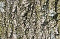 Willow Oak Quercus phellos Bark.JPG