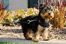 Yorkie terrier adult