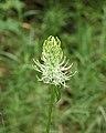 Witte rapunzel (Phyteuma spicatum) Hortus Haren 02.JPG