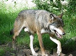 Loup gris commun (Canis lupus lupus)