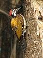 Woodpecker (2126647291).jpg
