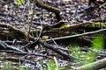 Worm-eating warbler (47582872381).jpg
