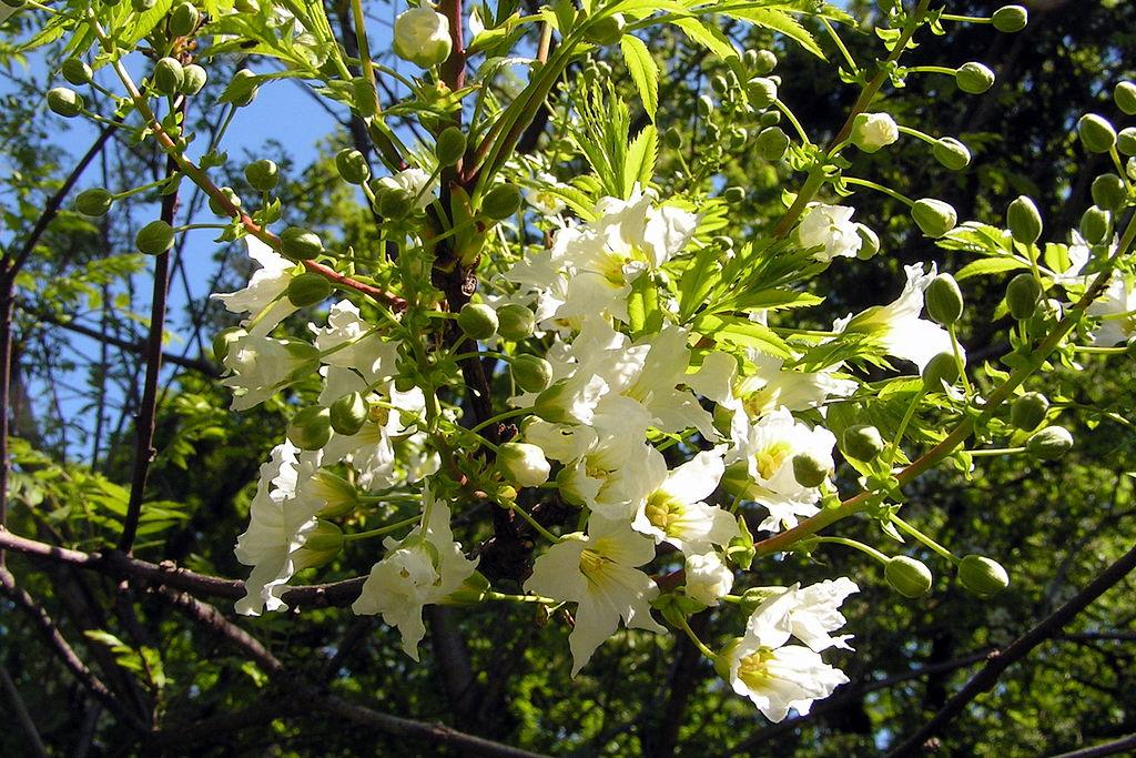 fleurs au printemps du xanthoceras