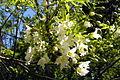 Xanthoceras sorbifolium1.jpg