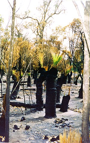 Flora of Australia - Scrubland with Xanthorrhoea following bushfire.