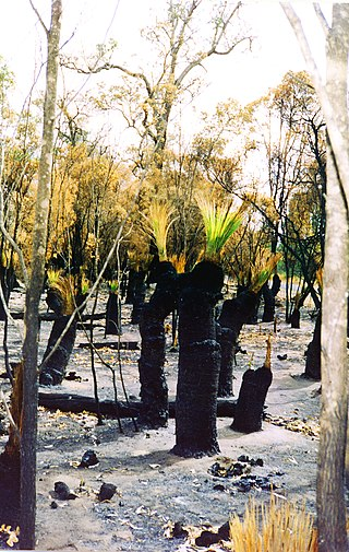Scrubland with Xanthorrhoea following bushfire. Xanthorrhoea bushfire.JPG