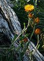 Xerochrysum subundulatum plants.jpg