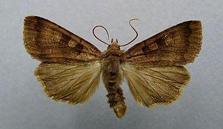 <i>Xestia stigmatica</i> Species of moth