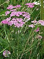 Yarrow - a very useful herb - geograph.org.uk - 910259.jpg