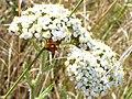 Yarrow flowers (Achillea millefolium) - geograph.org.uk - 205000.jpg