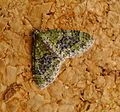 Yellow-barred Brindle. Acasis viretata - Flickr - gailhampshire (1).jpg