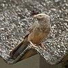 Yellow-billed Babbler (Turdoides affinis) in Hyderabad, AP W IMG 8000