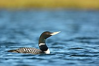 Yellow-billed Loon Chipp South 8-12-13 Ryan Askren.jpg