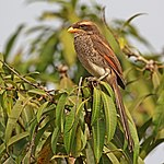 Yellow-billed shrike (Corvinella corvina corvina).jpg