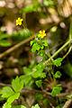 Yellow sorrel (23832486435).jpg