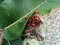Young Milkweed Bugs (21848578228).jpg