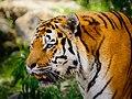Zürich Zoo Amur Tiger (17143409808).jpg