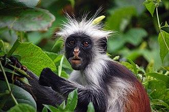 Zanzibar red colobus - Image: Zanzibar Red Colobus Monkey