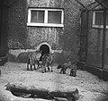 Zes zwarte pups in Artis geboren Moeder wolf met de zes kleintjes, Bestanddeelnr 915-2803.jpg
