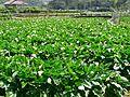 Zhuzihu Calla Lily Fields 竹仔湖海芋田 - panoramio.jpg