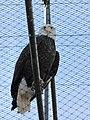 Zoo des 3 vallées - Aigle Pygargue - 2015-01-02 - i3282.jpg