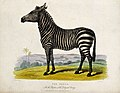 Zoological Society of London; a zebra. Coloured etching by J Wellcome V0023152.jpg