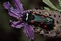 Zygaena lavandulae (Zygaenidae) (8709762848).jpg