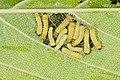 Zygaenidae (42064790635).jpg
