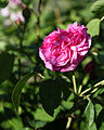 'Rosa Baronne Provost' Hybrid Perpetual Capel Manor College Gardens Enfield London England.jpg