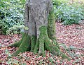 'Tree socks' on Fagus sylvatica, Lainshaw Woods, Stewarton, East Ayrshire.jpg
