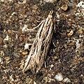(0737) Monochroa palustrella (5991291486).jpg