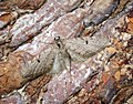 (1844) Ochreous Pug (Eupithecia indigata) (33930881173).jpg