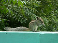 (Funambulus palmarum) Indian palm squirrel Pup at Madhurawada.JPG