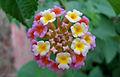 (Lantana camara) flower at Madhurawada.JPG