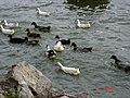 Λίμνη Ορεστιάδα - Λίμνη της Καστοριάς - Lake Orestiada - Lake Kastoria 02.jpg
