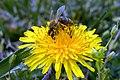Μέλισσα - panoramio (1).jpg