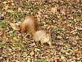Белочка в парке осенью - panoramio.jpg
