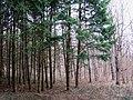 Весенний лес - panoramio.jpg