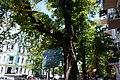 Вікові дерева на Володимирській, таблиця.jpg
