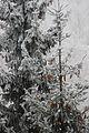 Молодые шишки. Санаторий Волжанка. Сюктерка. Чебоксарский р-н. Чувашия. Ноябрь 2014 - panoramio.jpg