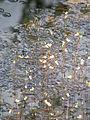 Пухирник середній (Utricularia intermedia Hayne).JPG
