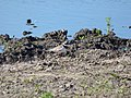 Пісочник великий Charadrius hiaticula.jpg