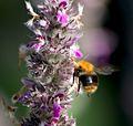 Шмель - Bombus - Bumblebee - Земна пчела - Hummeln (27891026825).jpg