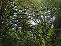Մամռակալած ծառ.JPG